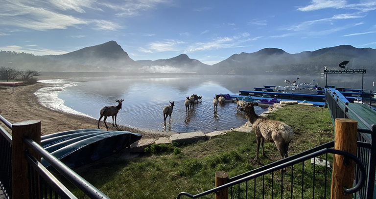 Elk on Lake Estes Colorado