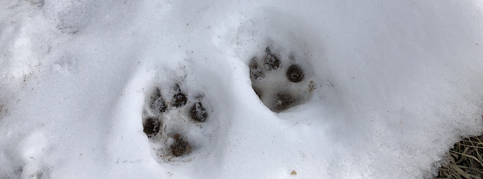 Mount Falcon Animal Tracks